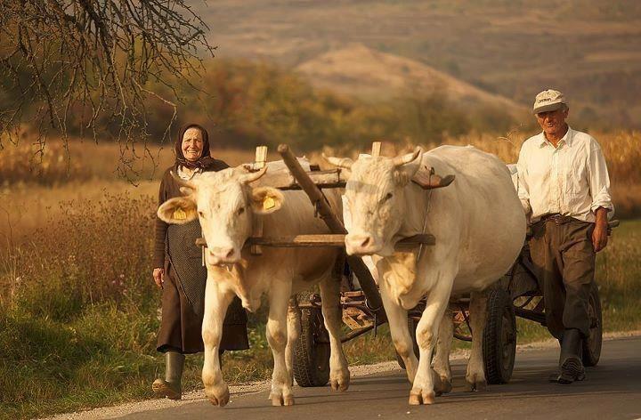 Trecea un car cu boi pe drum.. Rural landscape. Romania