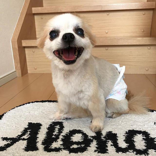 . サロンからお帰りなさい🐶 . 夏が来たから、恒例のサマーカット✂️ . サッパリして嬉しくて笑ってるのー💓 . 可愛すぎて、食べちゃいたい😍 . .  #チワワ #chihuahua #ロングコート #だけどスムースになっちゃったー #耳どこ行った? #愛犬 #おむつ犬 #親バカ #もうすぐ15歳 #🙏
