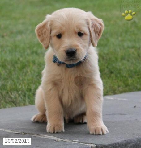 Rocky - Golden Retriever Puppy for Sale in Shippensburg, PA - Golden Retriever - Puppy for Sale