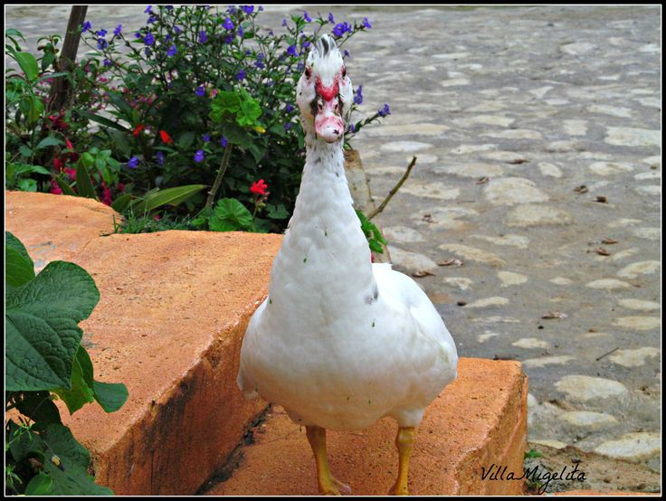 Corazon my special duck