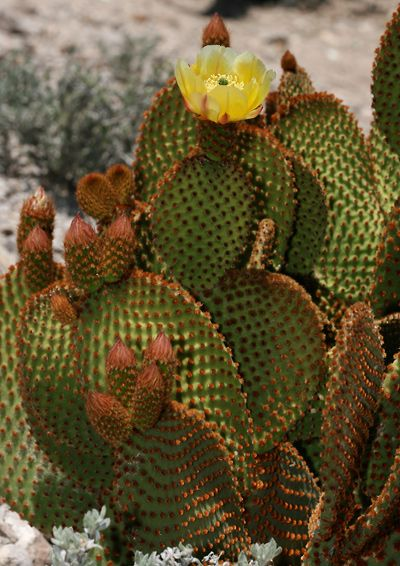 Succulents: Opuntia microdasys. Ouch, it takes a few minutes to realize these fine cacti spines are in your skin... Use plastic wrap to lift them out of you.