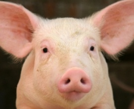 MacDonald's (finally) agrees to stop buying pork from pigs bred using insanely cruel gestation crates(small metal pens that don't even allow the animal to turn around). Small victory for these remarkable animals.