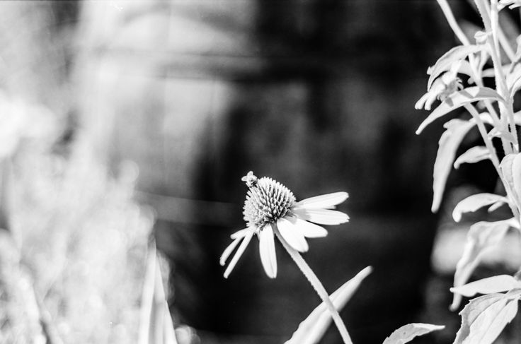 Bee (Happy) - Nikon F100, Nikon nifty fifty f1.8, Rollei Retro 80s. Self developed in BTTB, 3mn30/3mn30, 22C.  Developed with <a…