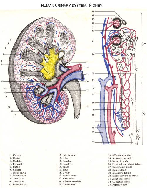 anatomy and physiology coloring book urinary system coloring page. Black Bedroom Furniture Sets. Home Design Ideas