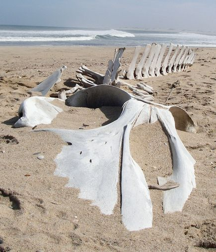 baleen whale skeleton emerges from the sands of the coast of Namibia