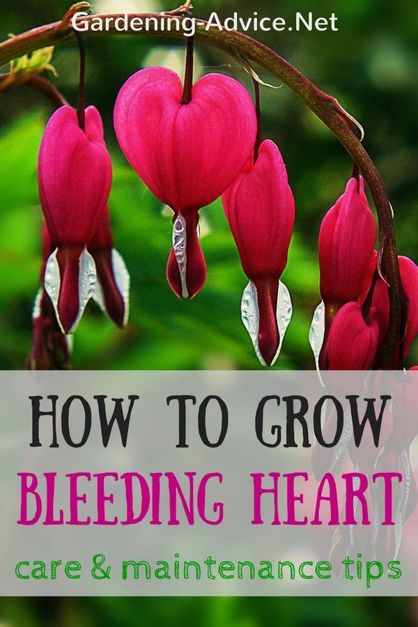 Bleeding Heart Plant Care Tips. The Bleeding Heart Flower is one of the most beautiful perennials for the shaded parts of your garden. Learn how to grow and transplant the bleeding heart perennial.