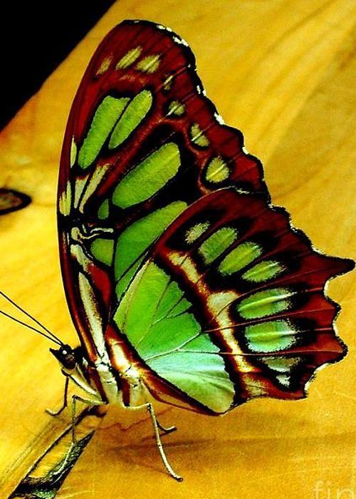 Mariposa malaquita
