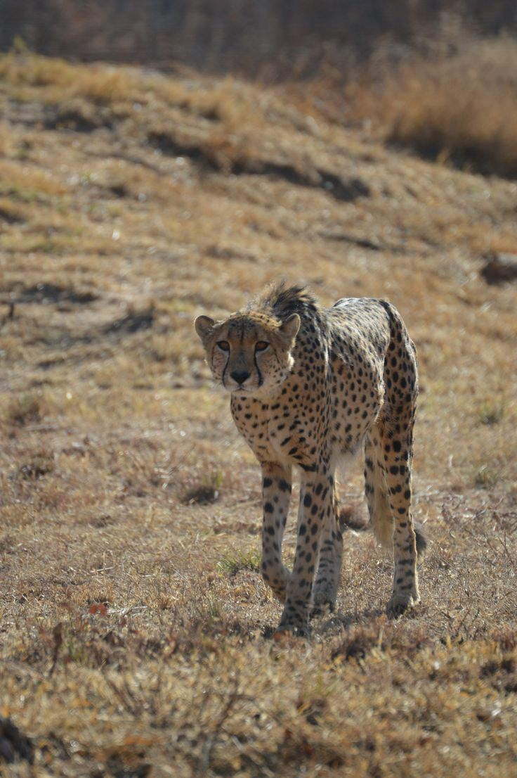Trigger the cheetah that is used at the schools for wildlife talks and being an ambassador to  encourage conservation.