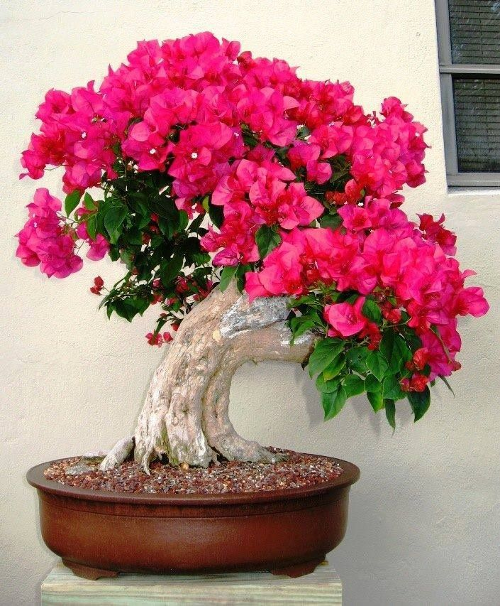 Bougainvillea Bonsaï Tree for your patio decorations or home decor! Lovely! Bonsai trees are quickly becoming a trendy home accent piece in the United States.