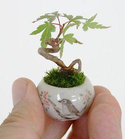Ultra Small Bonsai Plants