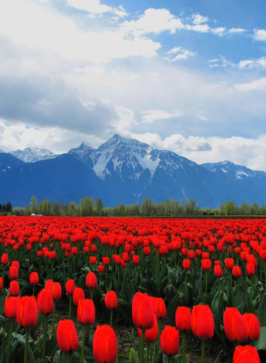 ~Sea of Red Tulips - seattle Roozengaarde has amazing tulip fields where you can tour, take photos, buy bulbs, and take in the amazing views!