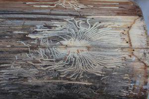 Brett Mit Holzwurmern Holzwurm Holz Holzwurmer Bekampfen