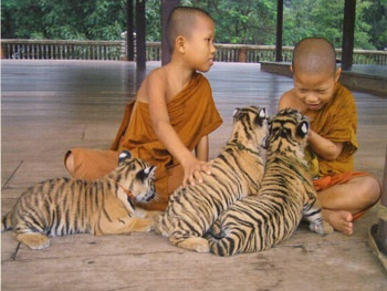 Take a tour at Tiger Temple in Thailand.
