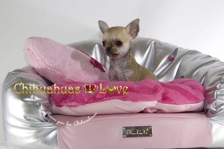 http://chihuahuas-love.com/cachorros-en-venta/claudia-detail