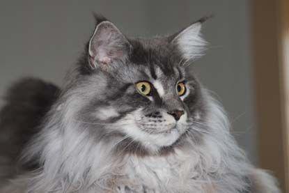 #MaineCoon #BlueSilver #Tabby #Blotched #Cats  ISHOSHUNO of El Dorado