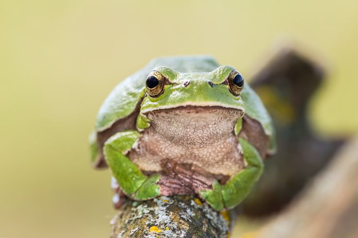 So... tell me everything - Female European tree frog (Hyla arborea) photogenic as usual