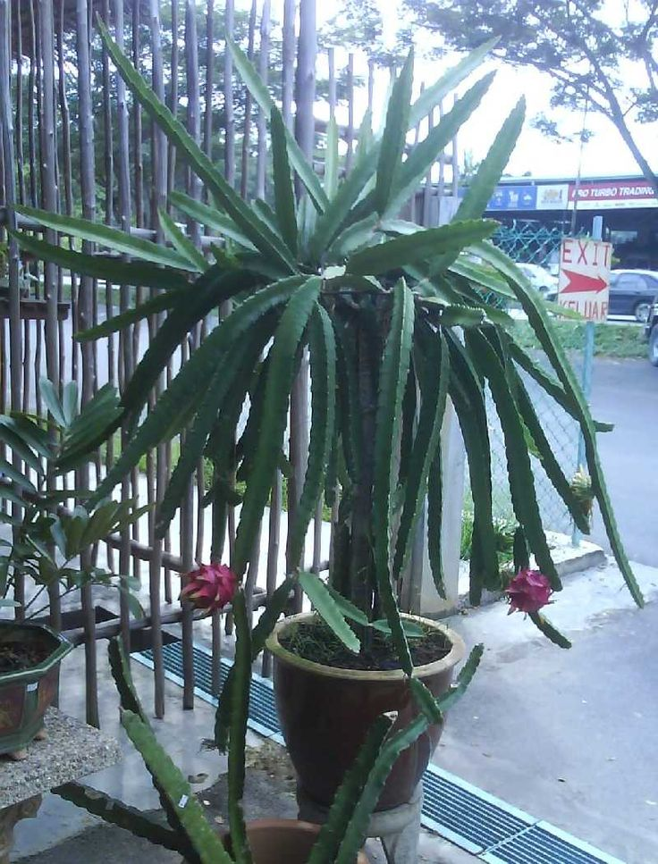 Growing dragon fruit from vine cuttings, grow pitaya, grow pitahaya, jungle cactus, book
