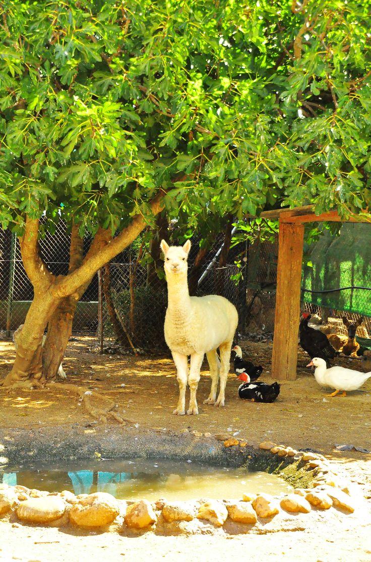 En la Granja viven dos preciosas alpacas, que conviven con los patos y las ocas cerca de la charca. ¡Ven a conocerlas!