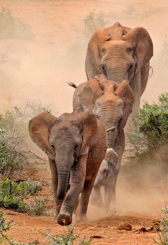 Africa | Elephants at Addo National Park, South Africa © Rod Biljon