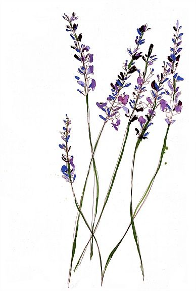 Lavender flowers illustration by Sarah Beetson  Puzzle piece blooms?