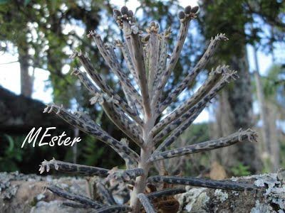 Calanchoê-da-abssínia (Kalanchoe delagoensis) Crassulaceae Herbácea suculenta, ereta, originária de Madagascar. Folhas  cilíndricas, cerosas, verde-azuladas com manchas transversais  arroxeado-escuras. Aglomerado de mudinhas no ápice das folhas.  Flores vermelho-alaranjadas.