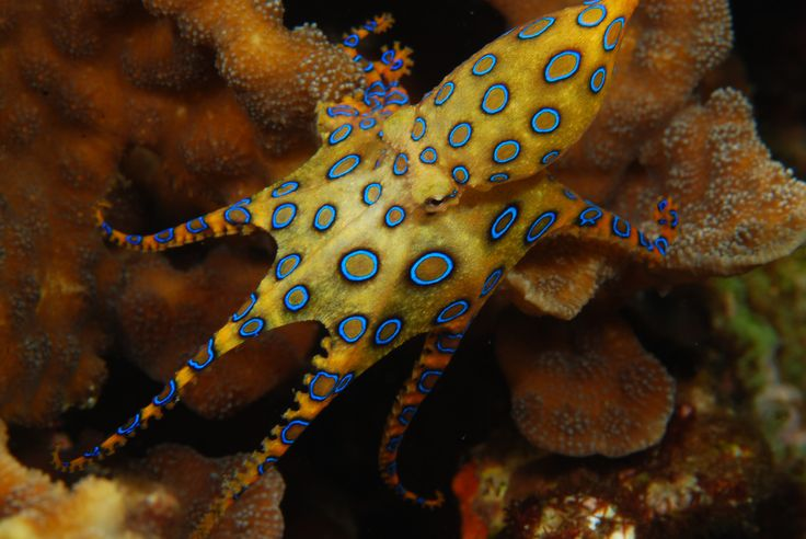 Blue Ringed Octopus-They are only 5-8 inches, but their bite can kill an adult in about 90 minutes!