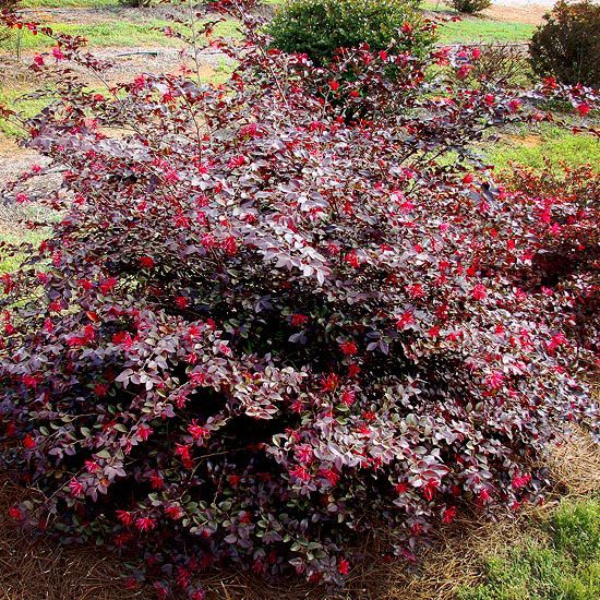 Shrubs trees and grasses a collection of ideas to try for Large bushes for landscaping