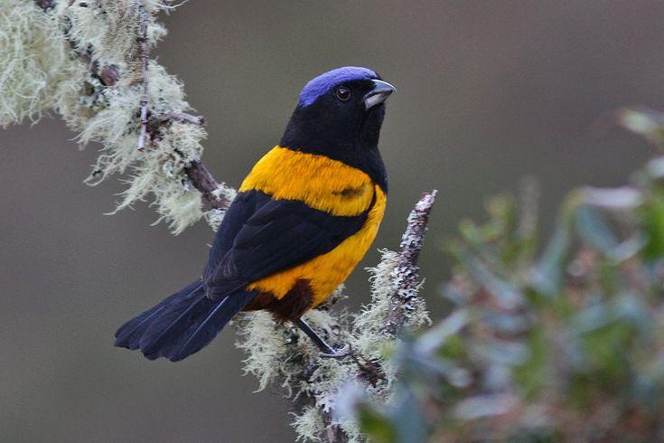 ペルーキバラフウキンチョウ Golden-backed mountain tanager (Cnemathraupis aureodorsalis, Buthraupis aureodorsalis)