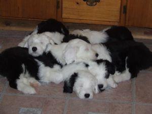 old english sheepdog puppies - pure cuteness