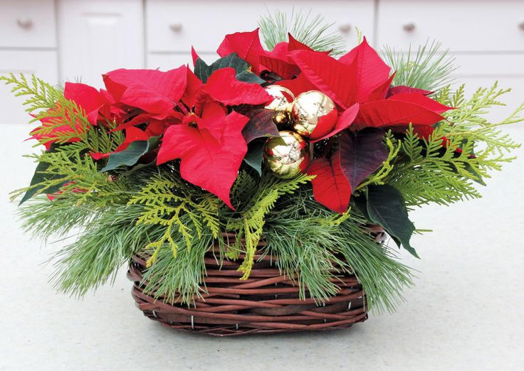 10 best images about poinsettia indoor evergreen for Poinsettia arrangements