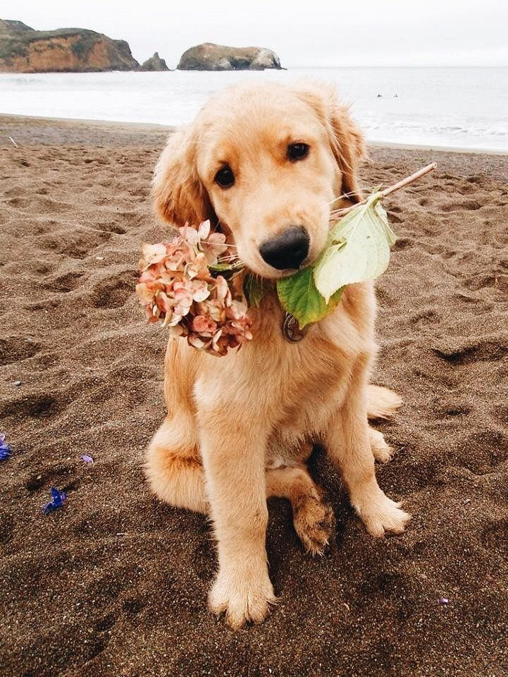 Cute Little Golden Retriever Puppy Dog With A Flower In Its Mouth