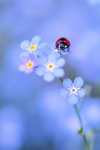 jazzsever:  MAVİ bir çiçeğe uğur böceği konmuş