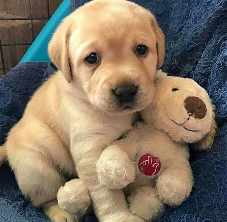25+ best ideas about Cute labrador puppies on Pinterest ...