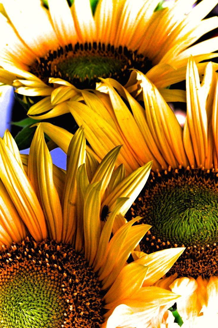 Sunflowers #hdr #dark #colors #Suomi #Finland