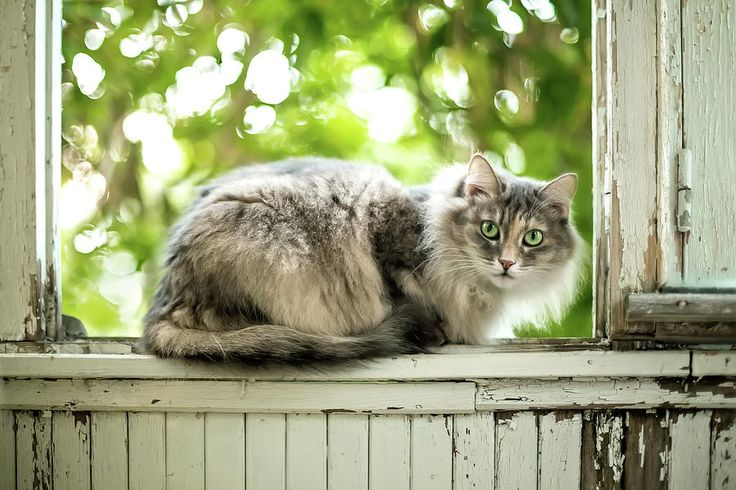 Gray Cat Sitting On A Balcony Photograph by Oksana Ariskina on @pixels and @fineartamerica. Gray fur kitten relaxing on a vintage rusty balcony wondow with sunny bokeh background.  Buy print and other product with my fine art photography online: www.oksana-ariskina.pixels.com #OksanaAriskina