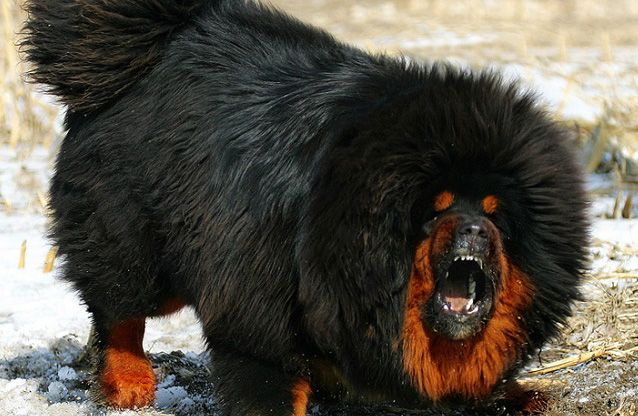 Mastiff Tibetano Cachorros Pinterest