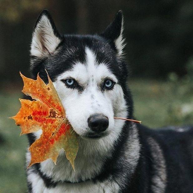 Siberian Husky Dog Preparing For Autumn Cute Animals Dogs