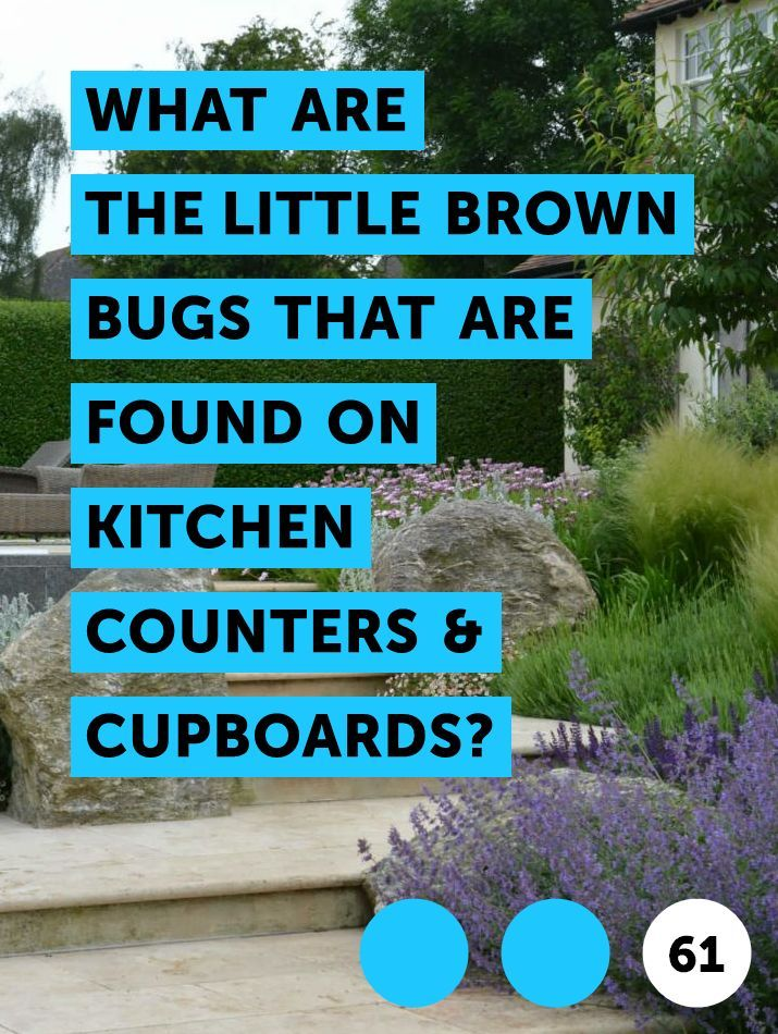 What Are The Little Brown Bugs That Are Found On Kitchen Counters