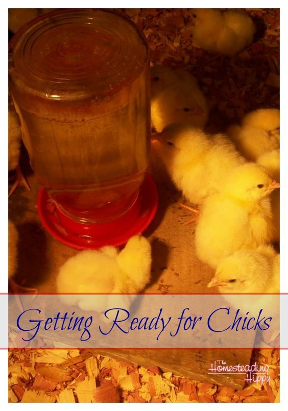 Either way you choose to add to your flock, there are a few things you need to do to get ready for chicks on your homestead. The Homesteading Hippy #homesteadhippy #fromthefarm #theurbanchicken