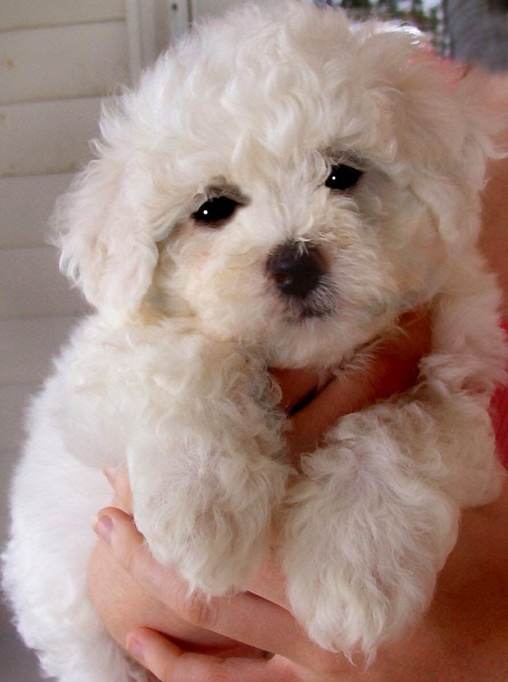 90 Best Cuddly Dogs Images On Pinterest Little Dogs