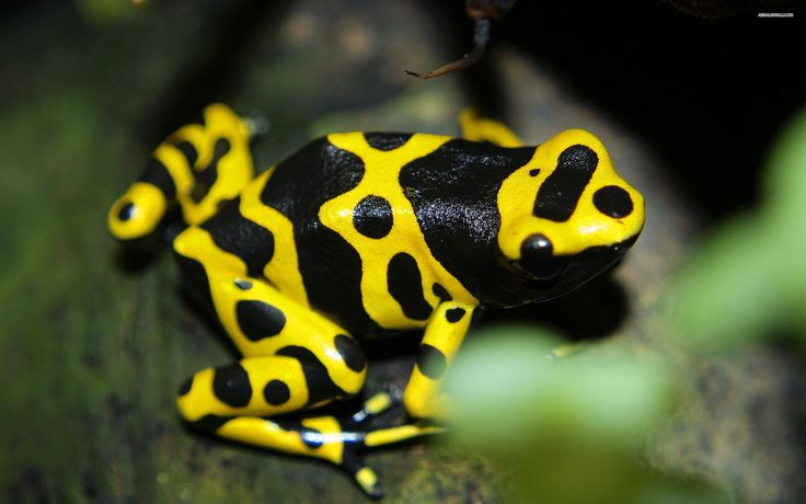 2560x1600 px Best poison dart frog wallpaper by Bedford Robin for : PKF