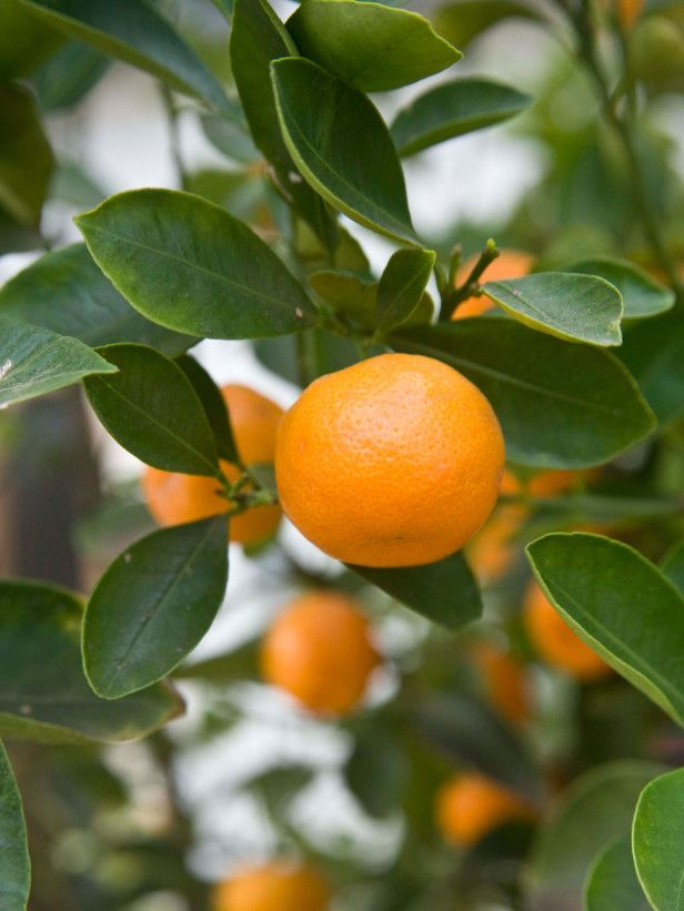 Nice overview of fruit trees and bushes for containers 13 types of fruit pictured mandarin - Planting fruit trees in autumn ...
