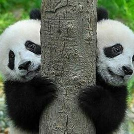 Twin Panda Bear cubs