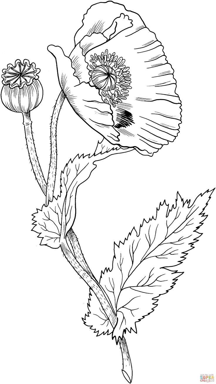 Opium Poppy | Super Coloring