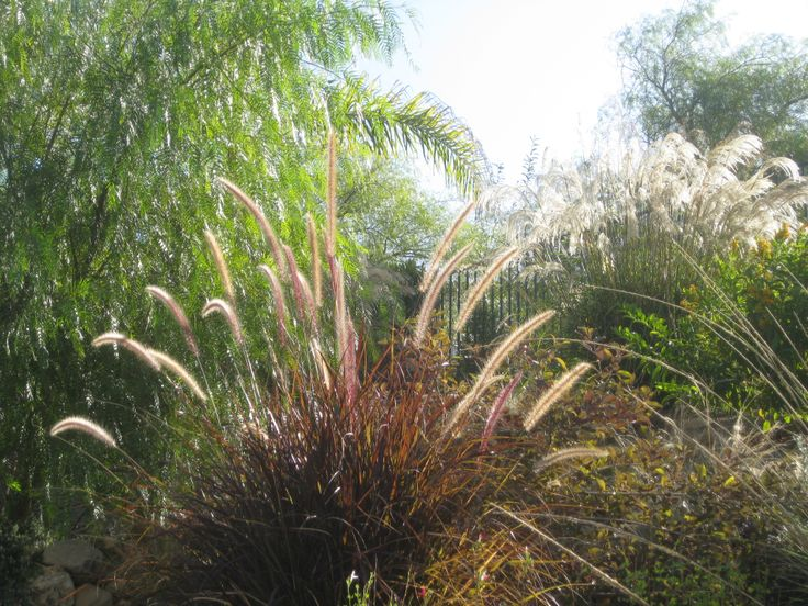 Perennial Grasses Illinois : Best images about grasses on gardens