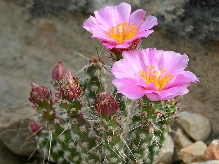 cactaceae micropuntia pulchella 7 150 cactus identificationhouseplantscactidaisysucculentflowers
