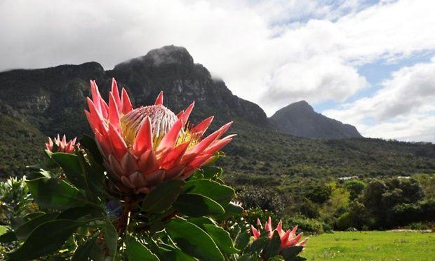 King Protea, Kirstenbosch, Cape Town