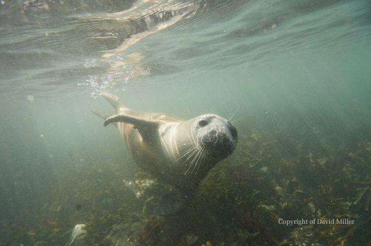 Grey Seal © David Miller