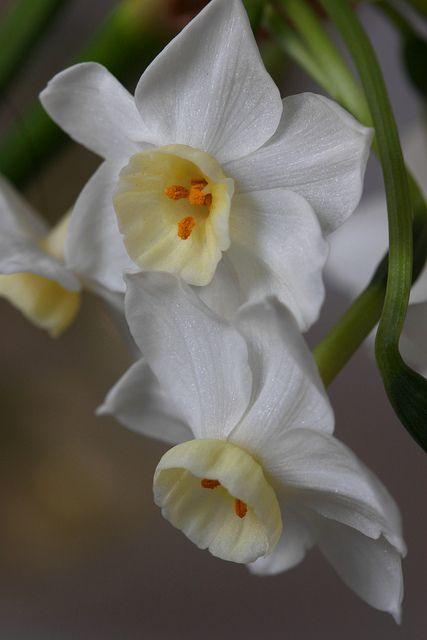 Narcisos for a white garden