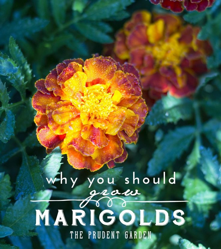 Marigolds are old fashioned annual bedding plants that are useful in the kitchen, in medicine, and in the garden. Here are several reasons to grow them.